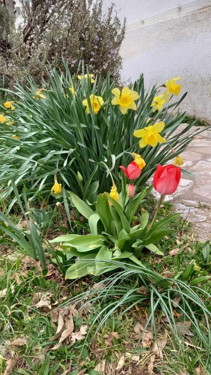 narcisi-e-tulipani
