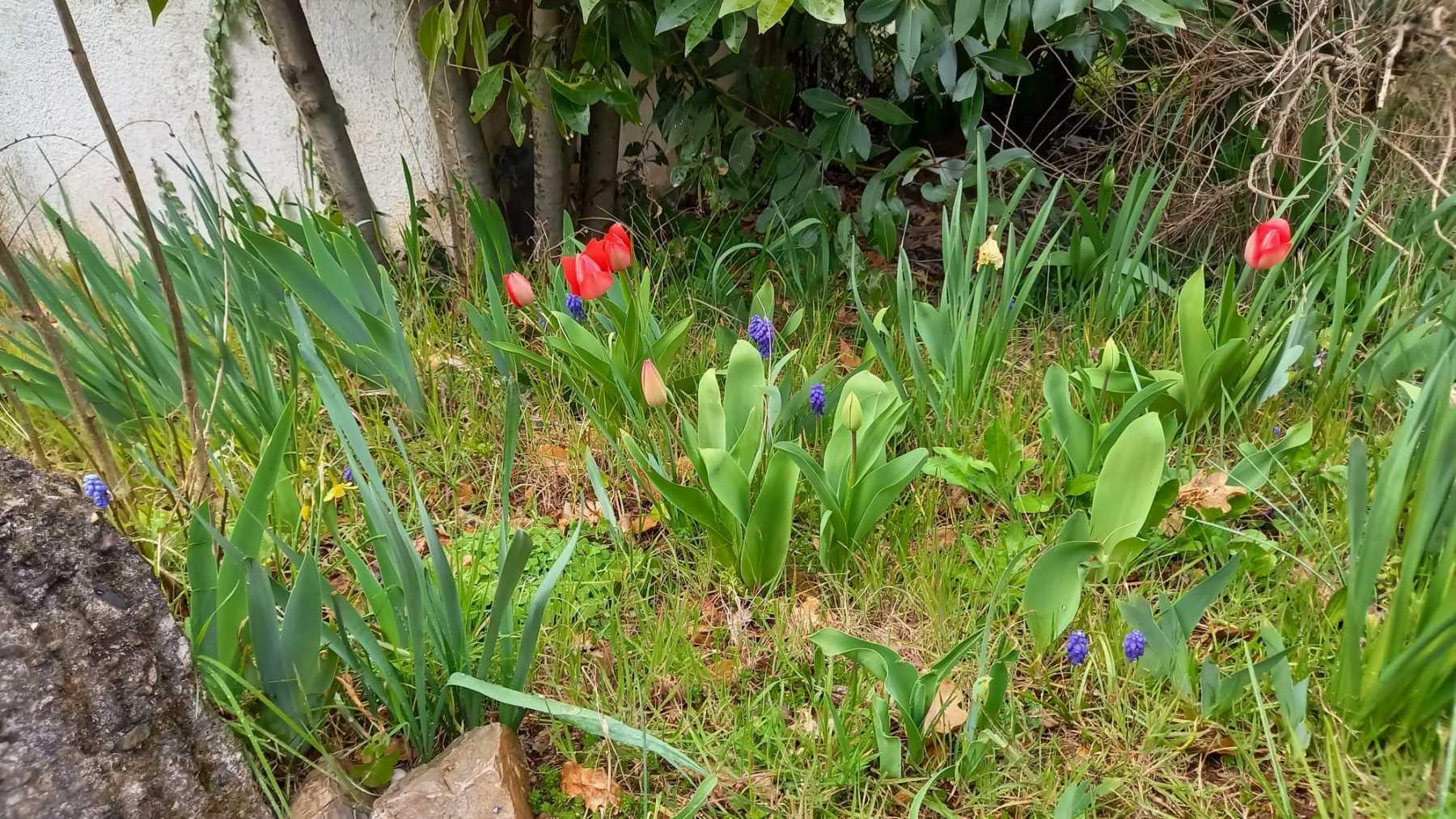 tulipani-e-soldatini