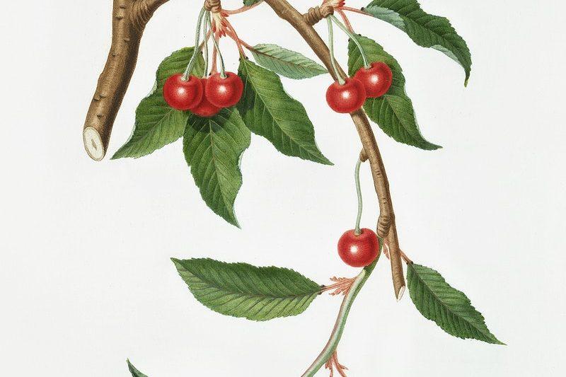 le storie di Nuovasafio – Il ciliegio